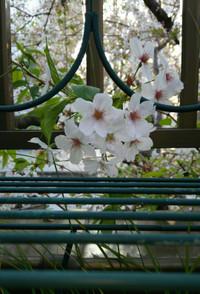 Sakura0101_2